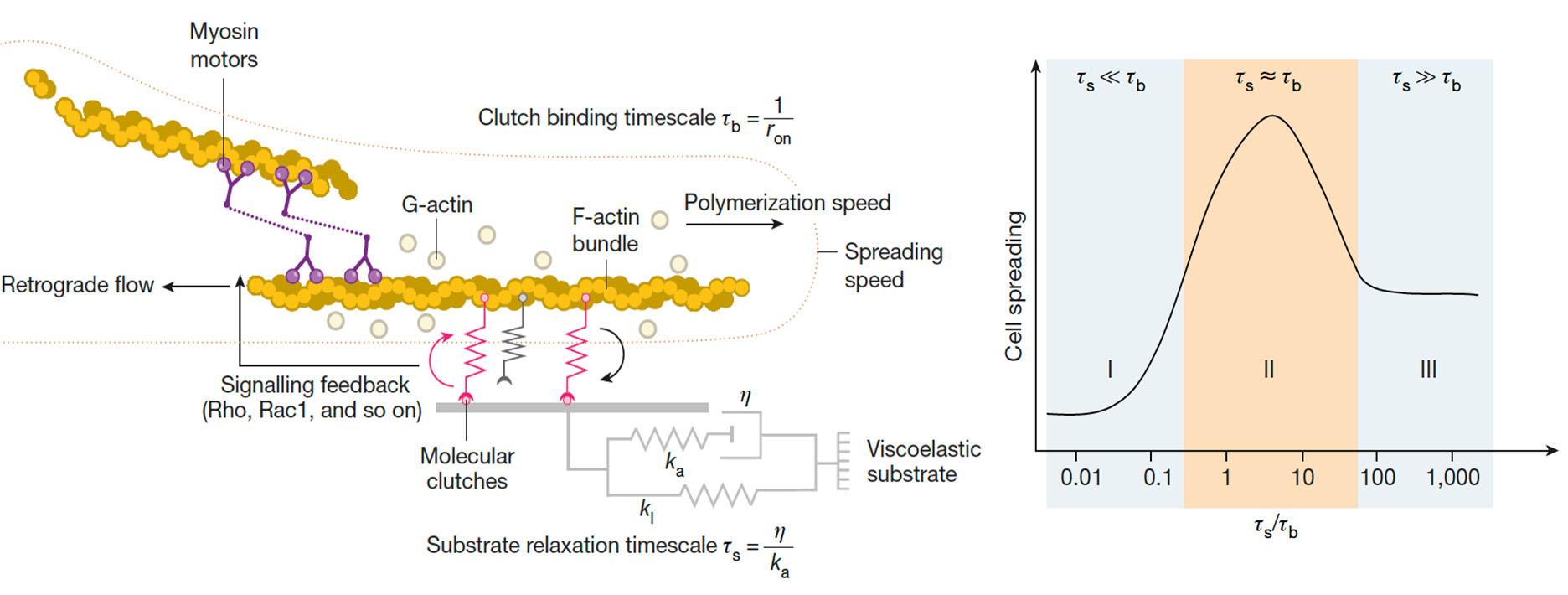 molecular clutch model figure