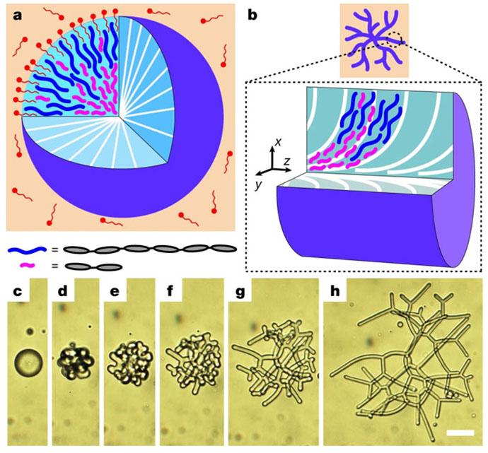 Figure illustrating reconfigurable nematic liquid crystal drops filled with polydisperse nematic liquid crystal oligomers (NLCOs)